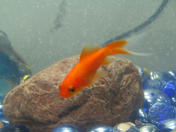 Aqua Gold Colored Goldfish Goldfish In Water Indoors  Omakere, Hawkes' Bay New Zealand Water