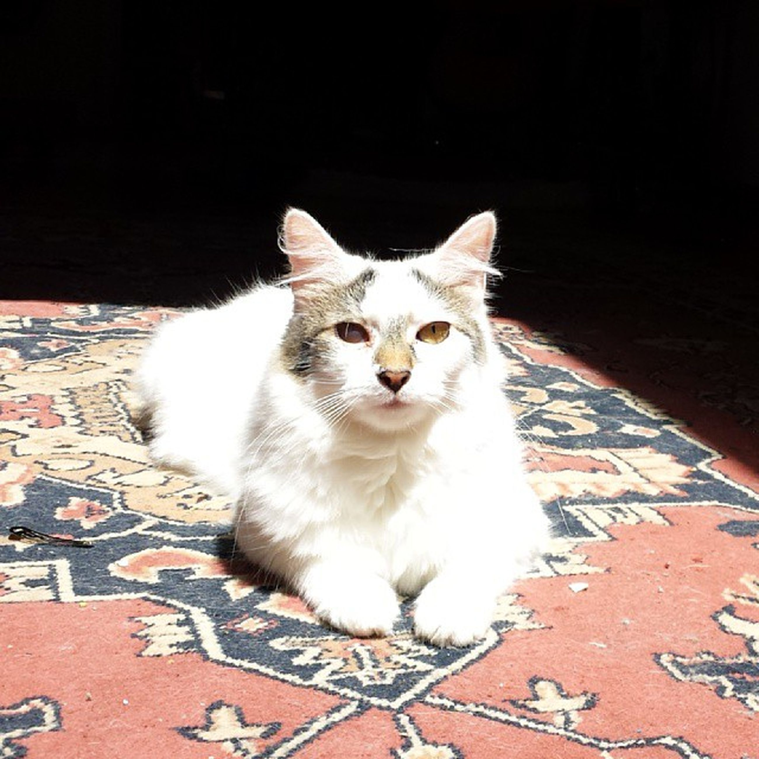 domestic cat, domestic animals, pets, cat, animal themes, one animal, feline, mammal, whisker, portrait, looking at camera, relaxation, white color, alertness, indoors, high angle view, sitting, close-up, no people