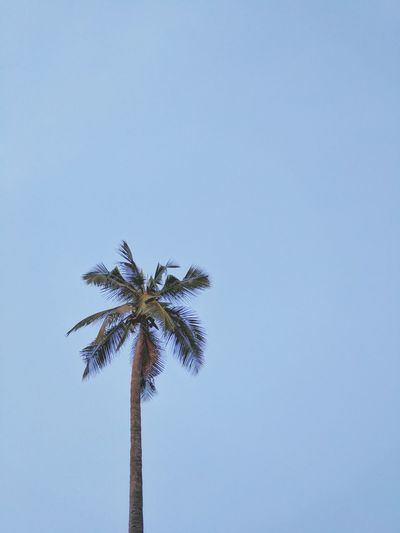 The clam Palm Tree Tree No People Blue Day Sky Outdoors Nature Backgrounds Wallpapers Simplicity Minimalism Minimal Wallpaper Google Pixel