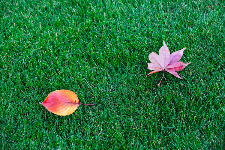 Autumn Leaves on Spring Grass Autumn🍁🍁🍁 Autumn colors Autumn Leaves autumn mood Autumn Maple Leaf Faded Orange Color Contrasting Colors Green Color Grass Seasonal