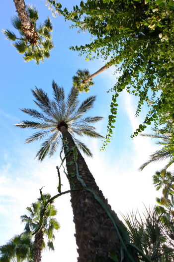 Up Greenery Lush Exotic Palm Tree Tree Shrub Vine Towering Foliage Flora Undergrowth Hot Blue Sky Maroc Morocco Marrakesh Marrakech Garden Nature Majorelle EyeEmNewHere EyeEm Nature Lover