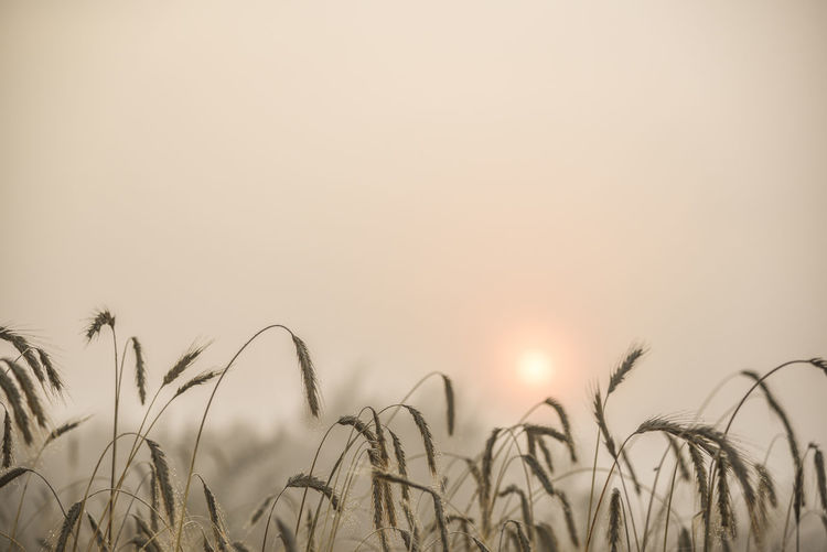 Close-up view of blades of wheat with blurred field in background Agriculture Beauty In Nature Cereal Plant Clear Sky Close-up Copy Space Crop  Day Field Growth Nature No People Outdoors Plant Rural Scene Scenics Sky Sun Sunset Tranquil Scene Tranquility Wheat