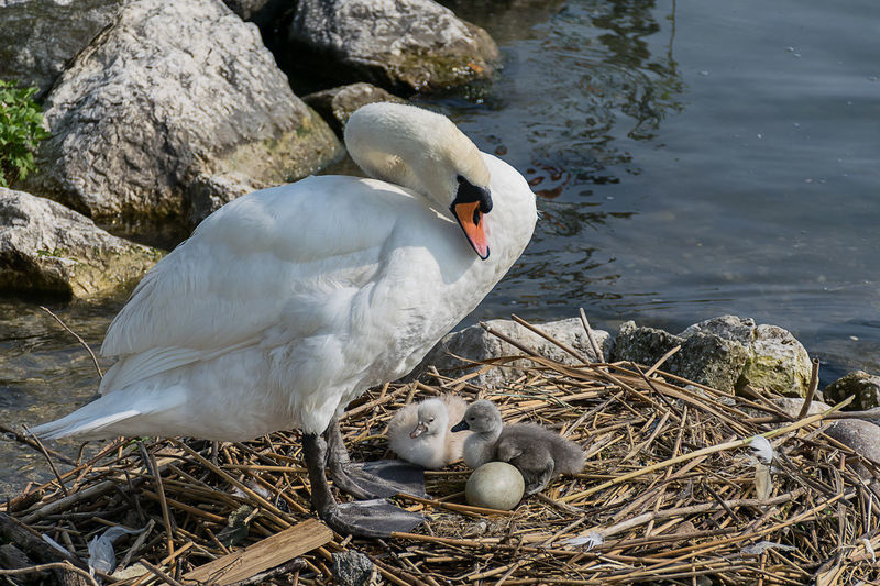 Mute Swan With Cygnets In Nest At Lakeshore