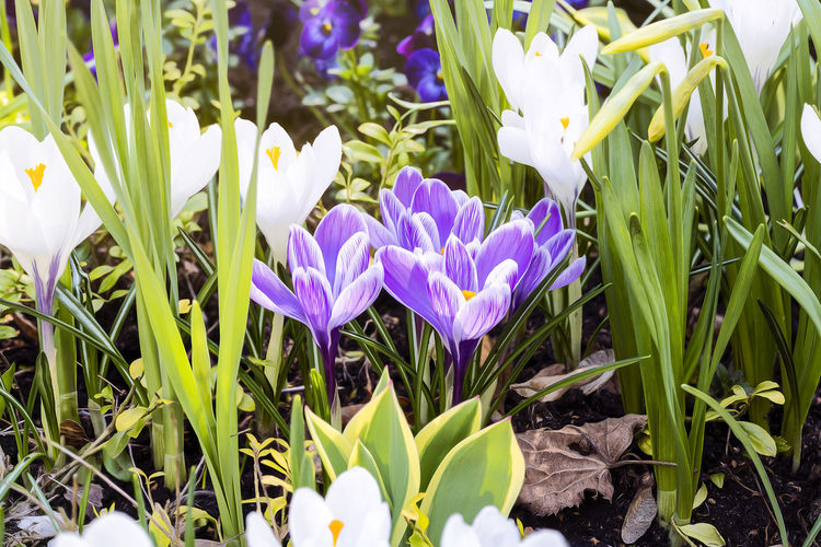 Flower Spring Springtime Season  Easter Nature Bud Blossom Outdoors Flowering Plant Plant Freshness Vulnerability  Beauty In Nature Fragility Growth Petal Close-up Flower Head Inflorescence Field Land Iris Purple No People Green Color Day Crocus