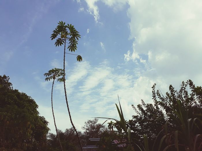 stay alive Tapioca Plant Summer #Nature  #tropicalfruit #malaysia Perak Darul Ridzuan, Malaysia Ipoh Village Life Tree Flying Sky Cloud - Sky