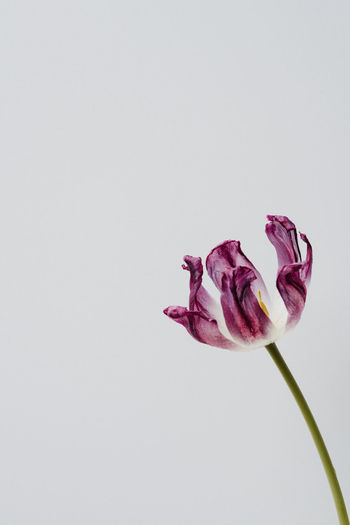 Close-up of flower against white background