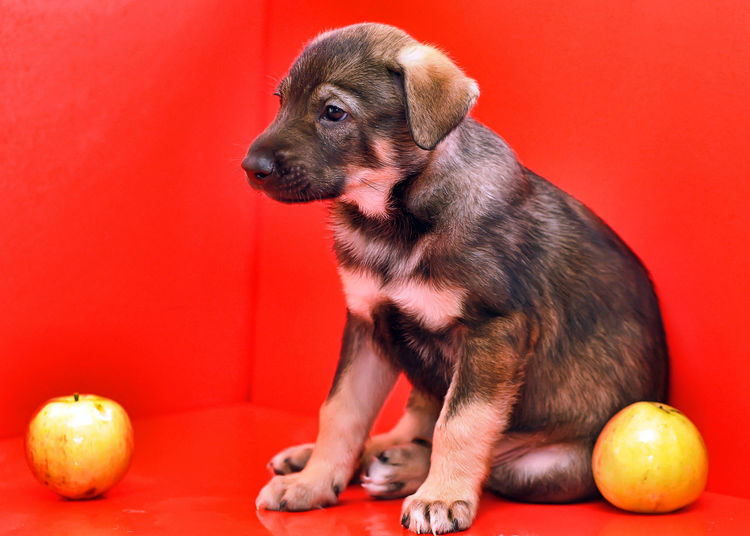 High angle view of puppy sitting on red background