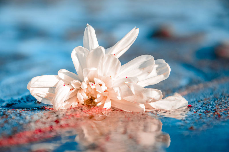 Close-up of white flower floating on water