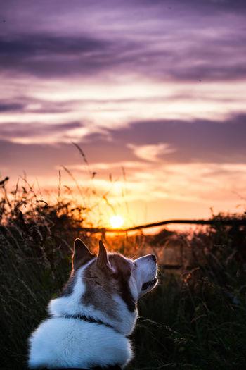 Siberian husky against sky during sunset