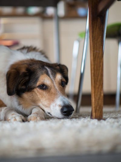 Dog Canine Domestic Mammal Pets One Animal Domestic Animals Animal Themes Animal Relaxation Vertebrate Selective Focus No People Resting Indoors  Close-up Animal Body Part Portrait Lying Down Looking Away Animal Head