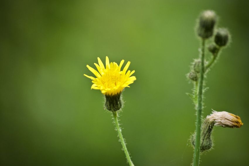 Green Beauty In Nature Beginnings Botany Close-up Dandelion Day Flower Flower Head Flowering Plant Focus On Foreground Fragility Freshness Green Background Growth Inflorescence Nature No People Outdoors Plant Plant Stem Springtime Vulnerability  Yellow