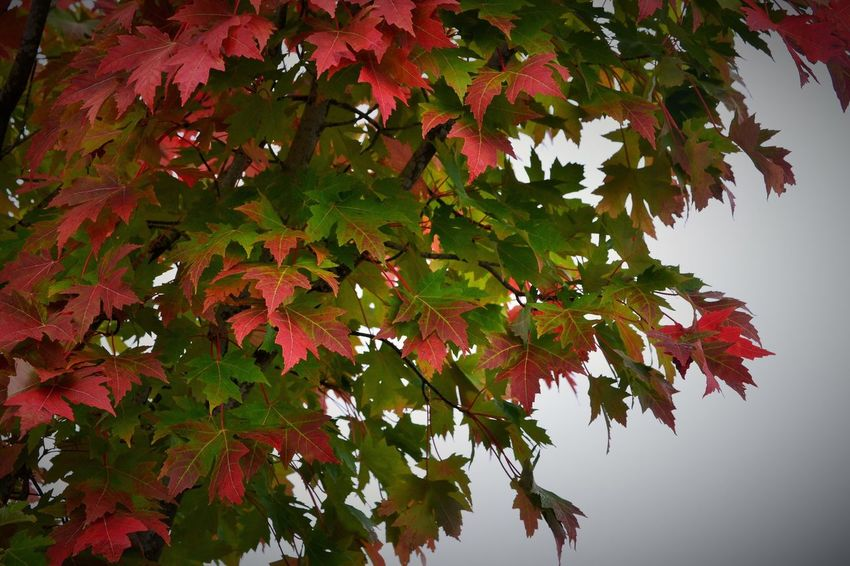 Leaf Branch Tree Low Angle View Growth Maple Tree Close-up Leaves Cropped Green Color Beauty In Nature Change Red Maple Leaf Nature Day Scenics Tranquility Green Outdoors Foggy Morning Fog