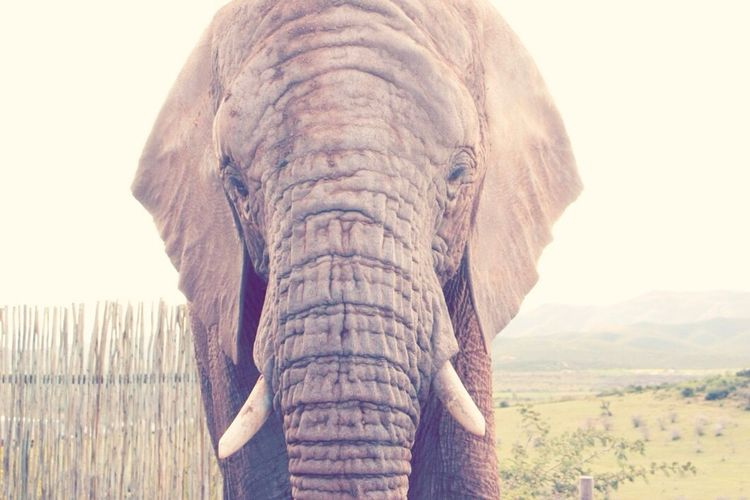 Elephant Elephants South Africa Africa Travel Photography Travel Traveling African Safari African Beauty Animal Majestic Ears Trunk Face Tusk EyeEm Best Shots