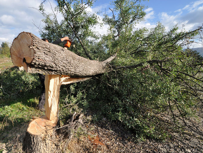 deforestation Cut Tree Trunk Day Deforestation Deforestation Effect Ecology Forest Industry Nature No People Outdoors Timber Industry Tree Tree Tree Trunk
