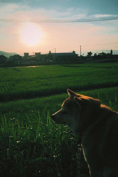 Sunset Anzu Shibainu Dog 杏っこ しばいぬ 夕日