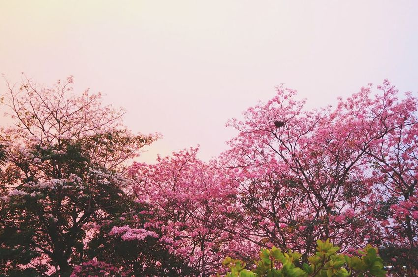 Sunset Tree Nature Growth Pink Color No People Flower Outdoors Branch Tranquility Beauty In Nature Sky Almond Tree Close-up Day Bangkok Thailand. ชมพูพันทิพย์