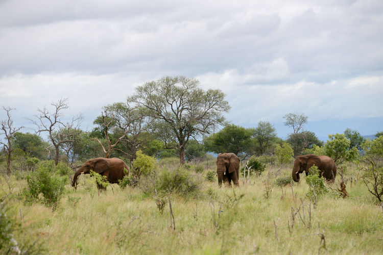Hlane Royal National Park in Swaziland, Southern Africa Hlane Hlane Royal National Park Swaziland  Africa African Elephant Animal Themes Animal Wildlife Animals In The Wild Beauty In Nature Cloud - Sky Elephant Grass Landscape Nature Outdoors Safari Animals Sky Tree