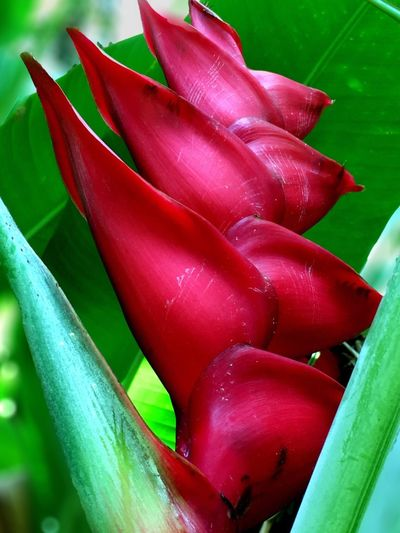 Heliconia a