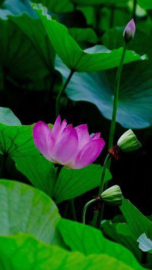 荷花 Plant Beauty In Nature Growth Petal Vulnerability  Flower Head