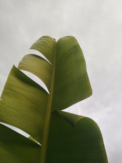 Low angle view of banana leaf against sky