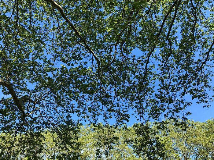 Leafs Plant Tree Low Angle View Growth Sky No People Nature Beauty In Nature Day Branch Outdoors Green Color Backgrounds Tranquility Forest Sunlight Scenics - Nature Blue Clear Sky Full Frame