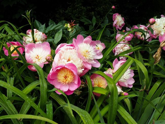 Pink Flowers Blossoms  Blossom Blooming Peony  Plant Flowering Plant Growth Flower Freshness Fragility Vulnerability  Beauty In Nature Pink Color Petal Nature Flower Head No People Plant Part Leaf Day Close-up Green Color Outdoors
