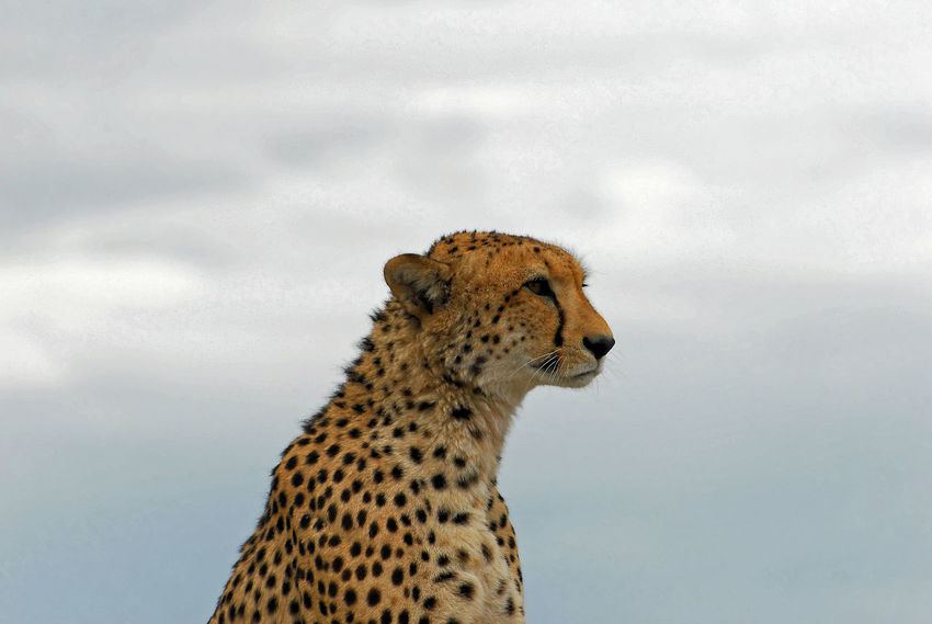 This Cheetah is sitting on an elevated post for a 360 degree scan of the horizon for food. This animal is so elegant and is a super fast sprinter able to outrun any of its targets. Animal Animal Head  Animal Themes Animal Wildlife Animals In The Wild Big Cat Cat Cheetah Day Domestic Animals Feline Looking Looking Away Mammal Nature No People One Animal Pets Sabi Sands Sky Undomesticated Cat Vertebrate