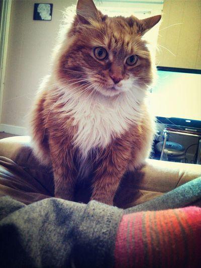 Cute Pets My Kitty Orange Cat Brady brady