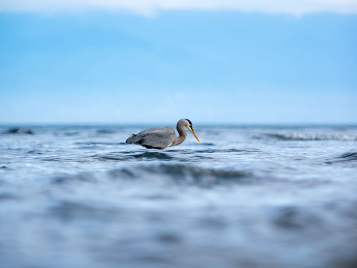 Animal Themes Animal Wildlife Animals In The Wild Bc Beauty In Nature Bird Day Fishing Grey Heron  Heron Nature No People Ocean One Animal Outdoors Sea Swimming Tranquility Vancouver Island Water Waves Wildlife Wildlifephotography