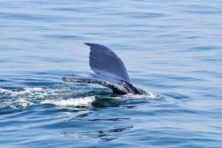 Humpback whale tail diving in atlantic ocean