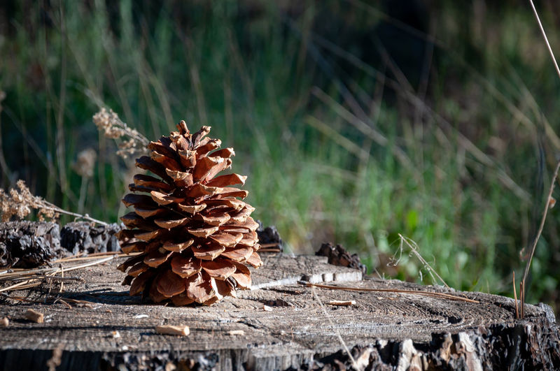Laguna Mountains in California Bark Beauty In Nature Brown Close-up Day Dead Plant Dried Dry Field Focus On Foreground Forest Growth Land Nature No People Outdoors Pine Cone Plant Selective Focus Sunlight Tree Wood - Material