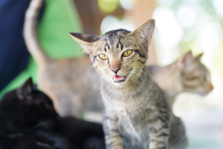 Kitty Thai Cat Aniamls Animal Themes Cat Close-up Day Domestic Animals Domestic Cat Feline Focus On Foreground Kitten Looking At Camera Mammal Nature No People One Animal Outdoors Pets Portrait Whisker