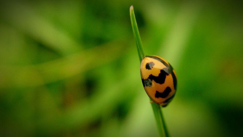 Ladybug Insect Photography Macro Photography Eyeem Philippines Mobile Photography Sony Xperia Photography. EyeEm Nature Lover Green Eyeem Insects Insect Paparazzi