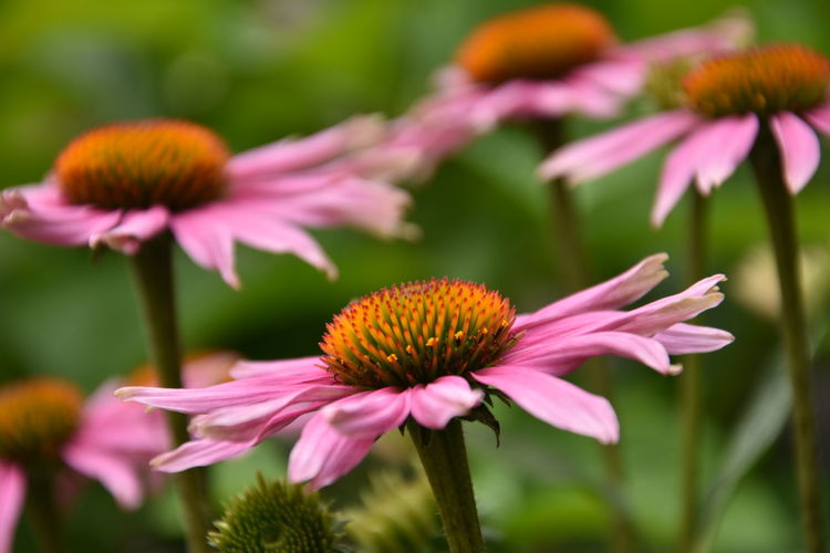 Beautiful pink flowers Flowers,Plants & Garden Pink Beauty In Nature Close-up Coneflower Day Flower Flower Head Flowering Plant Flowers Focus On Foreground Fragility Freshness Growth Inflorescence Nature No People Outdoors Petal Pink Color Pink Flower Plant Pollen Vulnerability