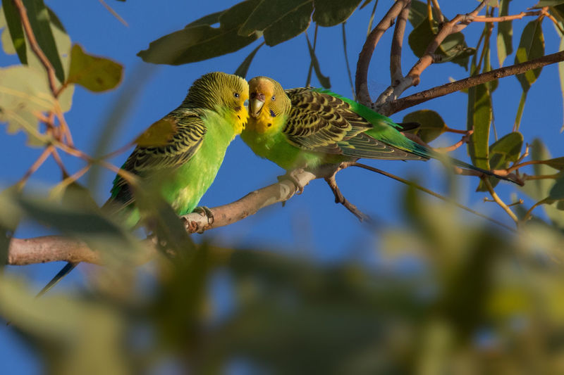 Wild budgerigars pair in tree courtship feeding Budgerigar Kimberley Australia Melopsittacus Undulatus Animal Themes Animal Wildlife Animals In The Wild Beauty In Nature Bird Courtship Feeding Day Green Color Nature No People Parrot Wellensittich