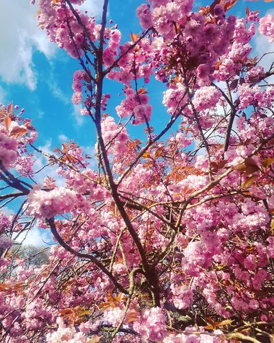 Blossom Tree Flower Beauty In Nature Blossom Branch Growth Low Angle View Nature Springtime Sky Fragility Day Pink Color Outdoors Scenics Close-up Flower Head Lake District Outdoor Photography Petal The Great Outdoors - 2017 EyeEm Awards