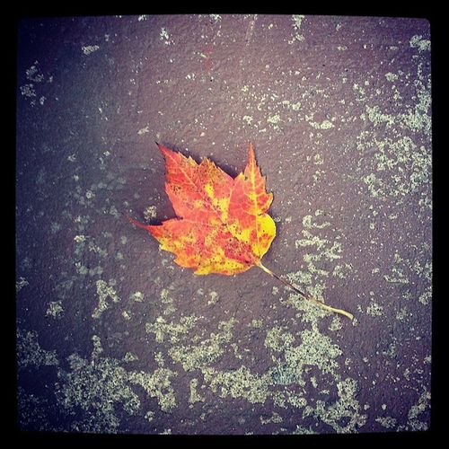 A beautiful lone leaf in the fall will always take me back the fourth grade and the fall of freddy the leaf ♥ Fall Loneleaf Falloffreddytheleaf Myfavoriteseason