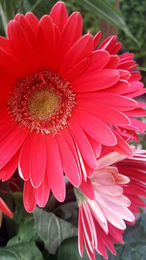Taking Photos Check This Out Beautiful Nature Summertime Beautiful Day Essence Of Summer Sunrays Morning Flower Collection Beautiful Flowers The Essence Of Summer Flowers_collection Garden Photography Gerbera Flower Gerberaflower