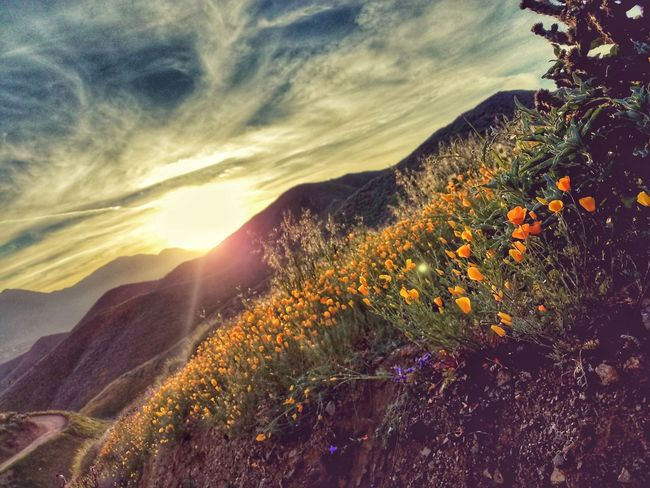 Nature Sunset Beauty In Nature Agriculture Growth Plant Landscape Scenics Flower Outdoors Sunbeam Sky Close-up No People Flower Head Tree Milky Way Freshness Day Mountains Beauty In Nature Nature Growth Multi Colored California