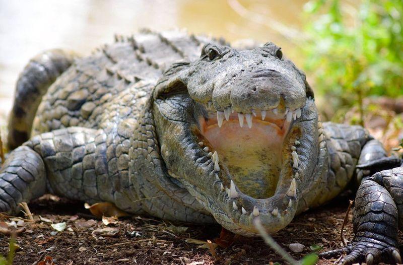 Crocodile au lac sacré de Anivorano, Diego Suarez, Madagascar Madagascar