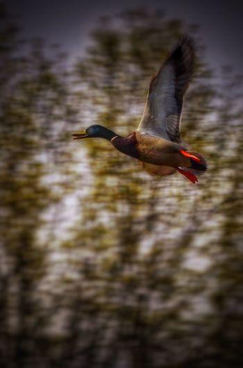 Not a redhead Mallard Drake  Duck Flying Ducks EyeEm Birds Birds Bird Photography EyeEm Nature Lover Wildlife Wildlife & Nature