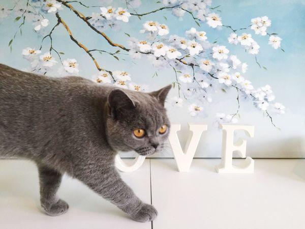 Love Decor British Shorthair Grey Cat