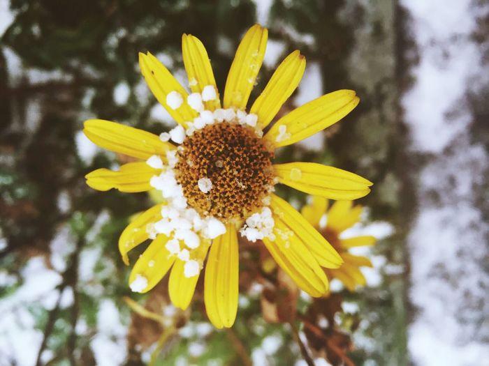 Taking Photos Snow Flower Nature Focus On Foreground Close-up Berliner Ansichten Berlin Detail Snow ❄ Snowing Winter My Fuckin Berlin Yellow Yellow FlowerNature_collection IPSWeather IPS2016Nature