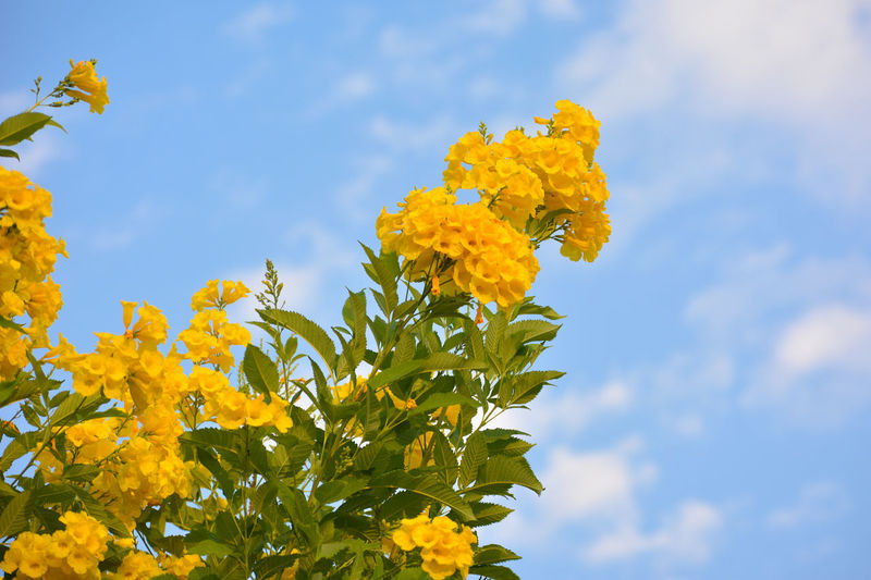 Close-up of yellow flowering plant against cloudy sky