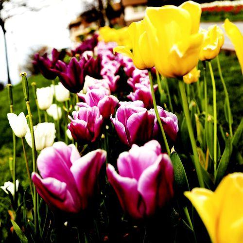 Zonguldak Hello World EyeEm EyeEm Best Shots Taking Photos Bysinaneksi Aşk Lale Flower