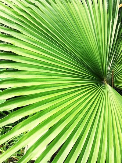 Leaf Green Color Nature Backgrounds Close-up Tree Palm Tree No People Full Frame Outdoors Abstract Textured  Frond Day Beauty In Nature Freshness