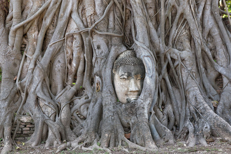 Wat Mahathat Ayutthaya Buddha Head HEAD Tree EyeEm Selects Statue Sculpture Place Of Worship Spirituality Ancient Religion Ancient Civilization Full Frame Tree Human Representation Root Old Ruin Amphitheater Ayuthaya Province Archaeology Historic First Eyeem Photo