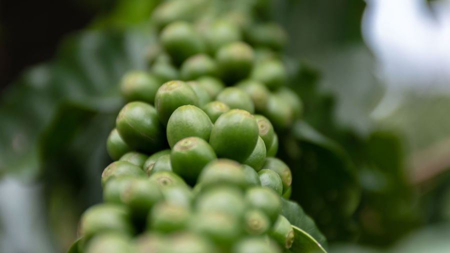 Agriculture Arabica Arabica Coffee ASIA Background Bean Beans Berries Berry Beverage Branch Bush Caffeine Closeup Coffea Coffea Arabica Coffee Composition Crop  depth of field Drink Farm Farming Food Fresh Fruit Green Grow Growth Harvest Industry Leaf Nature Organic Photography Plant Plantation Raw Raw Coffee Red Ripe Robusta Technique Thailand Tree Tropical Unripe Using Green Color Food And Drink Freshness Close-up Healthy Eating Selective Focus Wellbeing No People Vegetable Beauty In Nature Day Large Group Of Objects Focus On Foreground Abundance Indoors  Raw Food