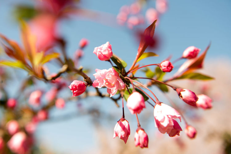 Beauty In Nature Blossom Cherry Blossom Cherry Tree Close-up Day Flower Flower Head Flowering Plant Focus On Foreground Fragility Freshness Growth Inflorescence Nature No People Outdoors Petal Pink Color Plant Pollen Selective Focus Springtime Tree Vulnerability