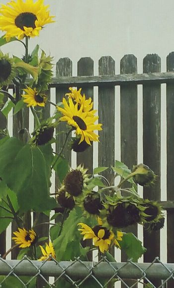Wrong side of town... Sunflower passing through Its Cold Outside Seeds Fenced In Standing Alone